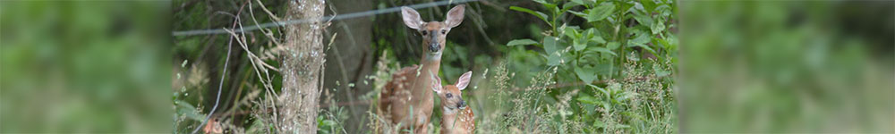 doe and her fawn in Wantage Township